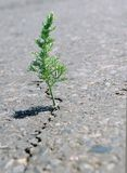 A crack in the asphalt. Grass wormwood growing in a crack on the road. Close-up stock photos