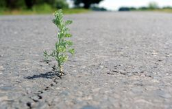A crack in the asphalt. Grass wormwood growing in a crack on the road. Copy spaces. A crack in the asphalt. Grass wormwood growing in a crack on the road royalty free stock image