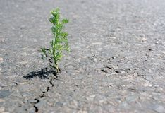 A crack in the asphalt. Grass wormwood growing in a crack on the road. Copy spaces. A crack in the asphalt. Grass wormwood growing in a crack on the road stock photo