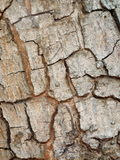 Crack tropical tree bark Royalty Free Stock Image