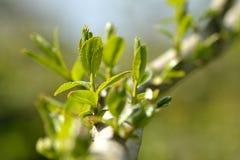 Crack willow (Salix fragilis) Royalty Free Stock Photos