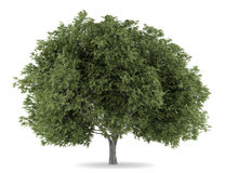Crack willow tree isolated on white Stock Images
