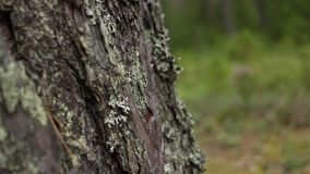 Cracked bark of a mighty tree. Dolly shot bottom-up movement close to stock footage