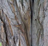 Cracked bark of old tree Royalty Free Stock Image