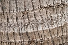 Cracked bark of old tropical coconut trees.  Stock Photo