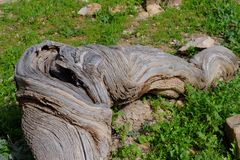 Cracked and bent olive tree root. Closeup Stock Photos