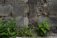 Cracked cement wall with green leaves on the bottom. royalty free stock photos