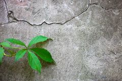 Cracked concrete surface with the ivy leaf Stock Photography