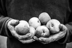 Cracked dirty old hands. Of senior man are holding apples royalty free stock photos