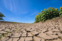 Cracked dry earth next to a sunflower field Stock Photos