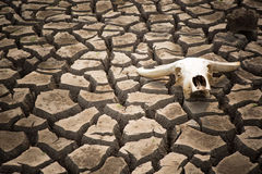 Cracked earth and buffalo skull Royalty Free Stock Image