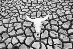 Cracked earth and buffalo skull Stock Images