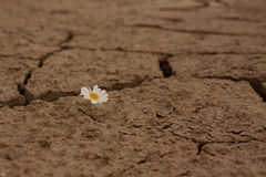 Cracked earth daisy flowers Survival Royalty Free Stock Image