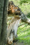 Cracked fallen tree Royalty Free Stock Image