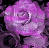 Cracked flower, old rose, art dark tone Stock Images
