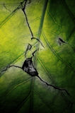 Cracked green leaf Stock Image
