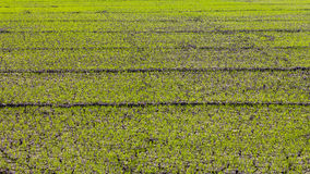 Cracked green rice seedlings. Royalty Free Stock Photo