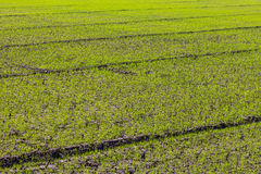 Cracked green rice seedlings. Stock Photo