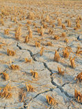 Cracked harvested paddy field land Stock Image