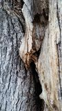 Cracked Oak Tree. Photograph of a oak tree. The tree has a split it is damaged and diseased Royalty Free Stock Photos