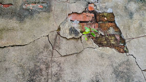 Cracked old brick and concrete wall covered with moss and tree t Stock Photo