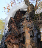 Cracked old oak tree. With a snowdrift on the trunk in a spring forest Stock Photos
