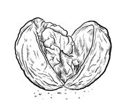 Cracked Open Walnut Sketch Royalty Free Stock Images