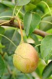 Cracked Pear on Tree Branch Stock Photography