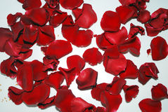 Cracked rose. Red rose petals on white background Stock Photos