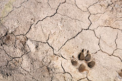 Cracked soil and dog footprint. A dog footprint on the surface of dry cracked ground Royalty Free Stock Photos