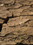 Cracked soil With a single flower Royalty Free Stock Photo