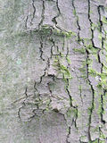 Cracked tree bark with grey and green Royalty Free Stock Photography