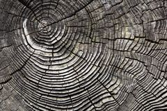 Cracked tree stump. Weathered tree stump with concentric circles Stock Photography