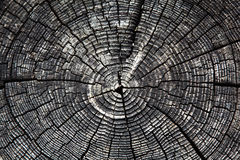 Cracked tree stump. Weathered tree stump with concentric circles Royalty Free Stock Photo