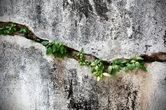 Cracked Wall with Little Plants Inside. A little plants growing inside cracked wall Royalty Free Stock Image