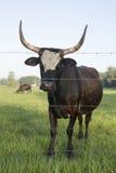 Cracker Cattle Stock Photography