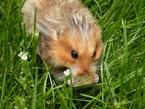 Cracker eating rodent in grass Stock Photography