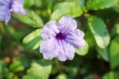 Crackeranlage ist eine Art Unkraut, das schöne Blumen Rosa und purpurrote, schöne Blüte hat stockbild