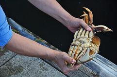 Cracking of the Crab Royalty Free Stock Photo