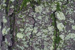 Crackled surface of tree bark with moss and light green lichen. Crackled surface of tree bark with moss and mint green lichen Royalty Free Stock Image
