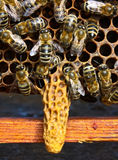 Cradle for the chapter of bee family Royalty Free Stock Images