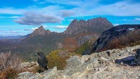 Cradle mountain and a black currawong bird stock image