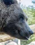 Crafty bear. An up close shot of a grizzly bear giving a mischievious look Stock Photos