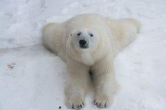 Crafty bear. Crafty white bear Stock Photo