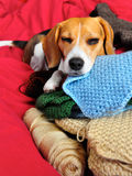 Crafty Canine. Beagle naps on a pile of crocheted squares and yarn Stock Images