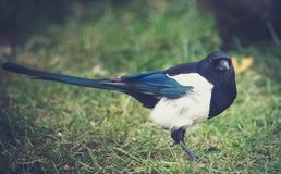 Crafty magpie. In anticipation of food Stock Image