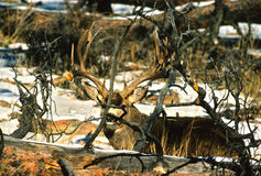 Crafty Mule Deer Buck. A crafty mule deer buck well camouflaged while bedded in some deadfalls Stock Photo