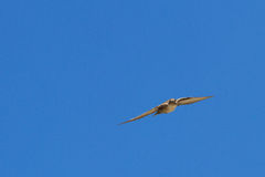 Crag Martin Royalty Free Stock Photos