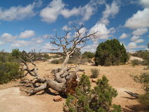 Craggy Desert Tree Stock Photography