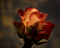 Craggy. Floral portrait of a single Rose looking craggy royalty free stock image